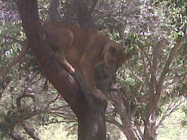 Lion up tree!!
