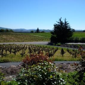 Vineyards in Sonoma California!