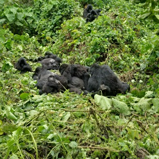 Gorilla Tek