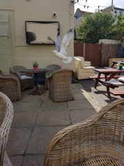 Bird in flight at local pub!