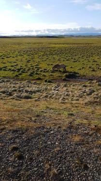 Icelandic Horse, in the sun!